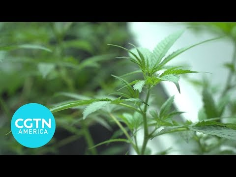 See how a legal marijuana operation works