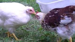 Funny talking chipmunk envies rooster and hen why?