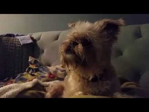 FUNNY - CUTE BRUSSELS GRIFFON DOG WATCHES DOG ON TV