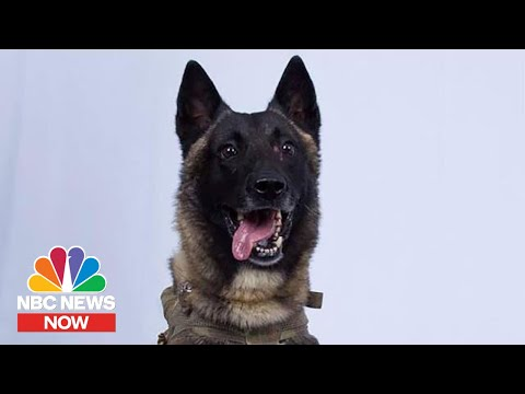 Pentagon: Hero Dog Returned To Duty After ISIS Raid | NBC News Now