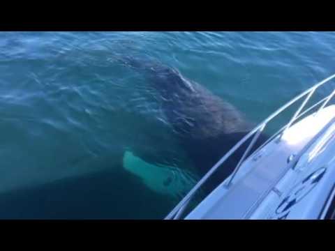 Humpback Whale 'Mugging' a Boat in the Strait of Juan de Fuca