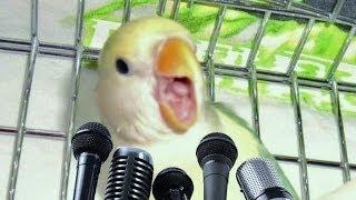 Agaporni cantando + INFO uñas - Lovebird singing