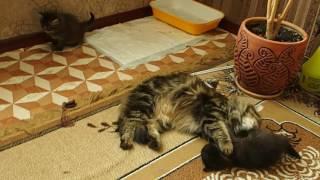 Сибирская кошка - Невская маскарадная. Семья в полном составе!