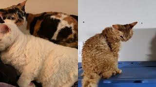 CUTE DEVON REX CAT MOMENTS