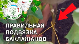 Выращивание баклажанов. Как правильно подвязать баклажаны.(Смотрите видео о подвязке баклажанов. Когда пора подвязывать баклажаны, зачем подвязывать баклажаны, каким..., 2016-07-25T06:32:46.000Z)