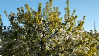 cover image for 4K - proshot timelapse, blossoming cherry tree.