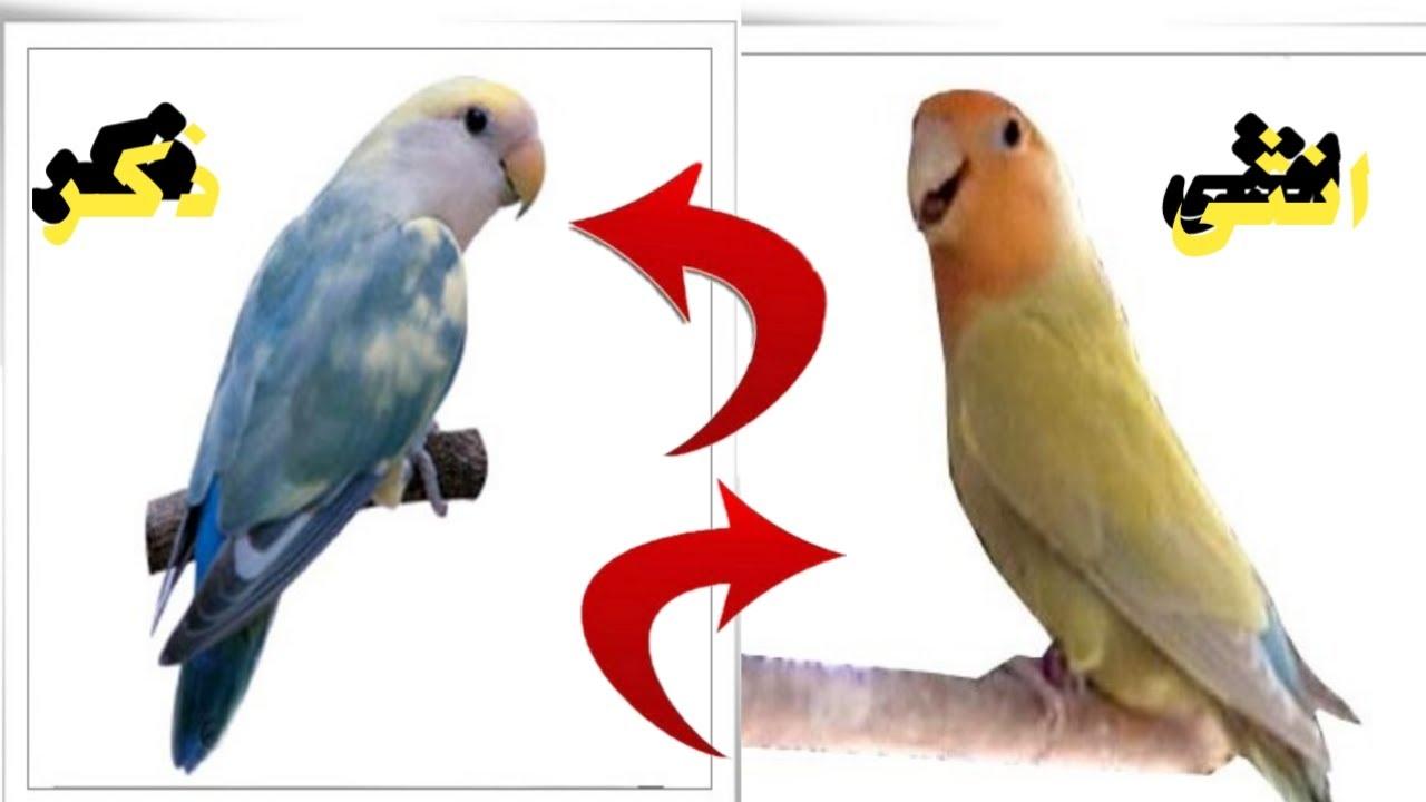 كيف اجعل طيور الفيشر والروز تتزاوج في اقل من اسبوع فقط اختر هذا الذكر وهذه الانثى Youtube