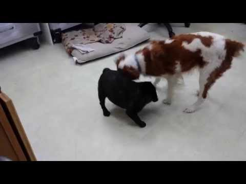 French Bulldog & Brittany Spaniel Playing in the Shop 7.7.2015