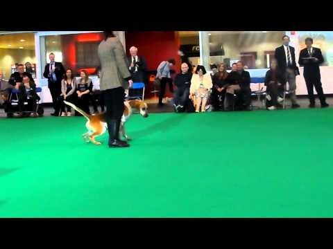Foxhound Best of Breed Crufts 2015 - longest pee!