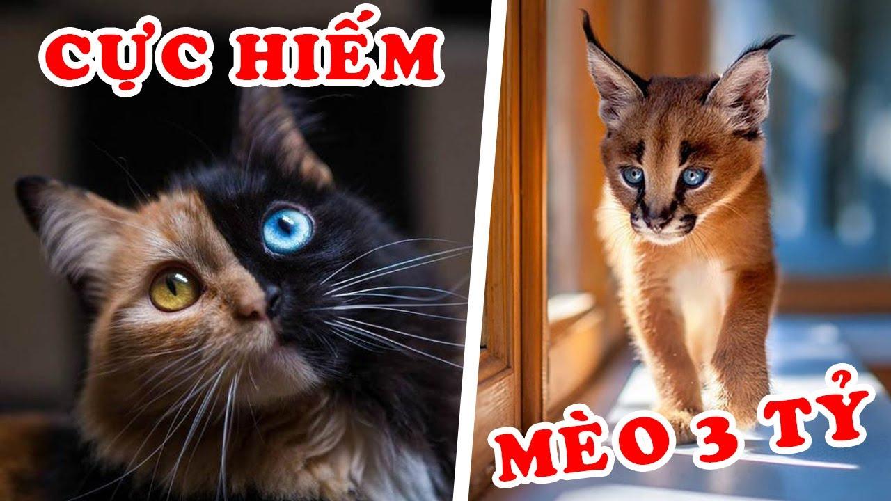 10 Loài Mèo Hiếm Nhất Trên Thế Giới – Tiền Tỷ Không Mua Được