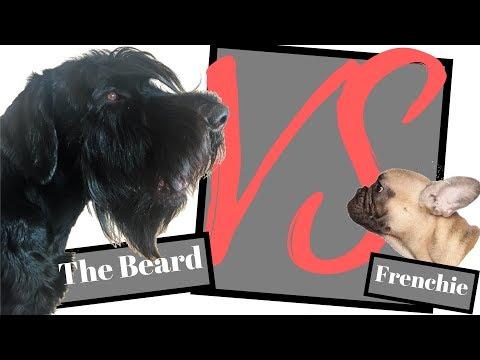Giant Schnauzer vs French Bulldog - BlackDogProduction