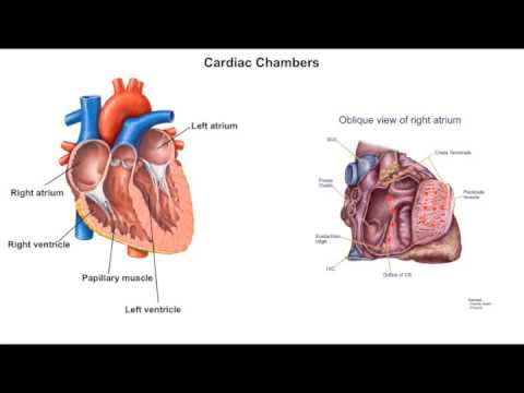 Episode 2 Cardiac Anatomy Part I - YouTube