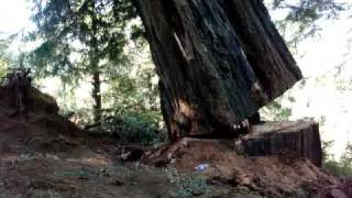 Falling an old growth redwood tree