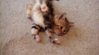 Sway - CH Cerebellar Hypoplasia kitten trying to walk