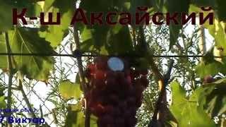 Виноград Преображение, Бажена, к-ш Аттика, Презент, к-ш Столетие, Парижанка, к-ш Аксайский.