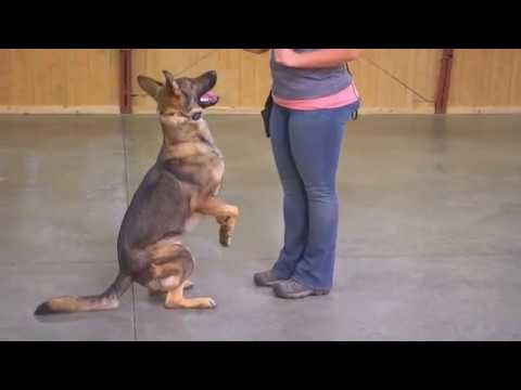 Stunning Sable GSD 'Simba' 21 Months Obedience Protection Trained Super Star For Sale