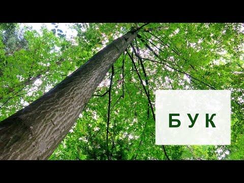 Дерево бук.