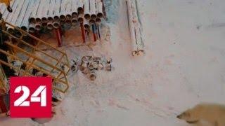 """видео: """"Надо его стрелять"""": белый медведь атаковал вознамерившегося его погладить вахтовика - Россия 24"""