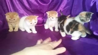 Котята экзотические (продажа)