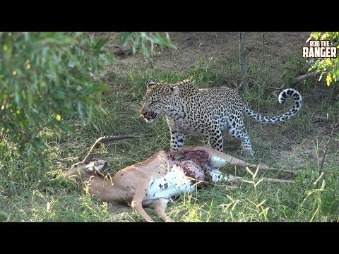 Buzzing Carrion Flies Irritate A Leopard As She Tries To Feed