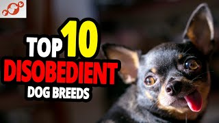 Disobedient Dogs  TOP 10 Most Disobedient Dog Breeds In The World!