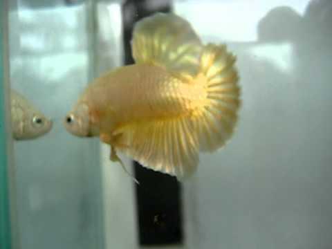 ปลากัดทอง