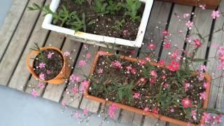 2014.04.24 Queen's Garden カスミソウ3種