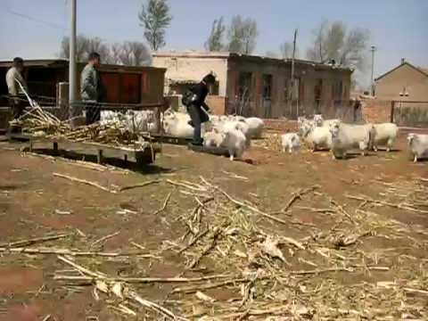 Cashmere Goat Farm Inner Mongolia