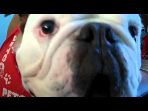 bulldog utube barking english bulldog youtube 6864
