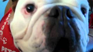 Barking English Bulldog