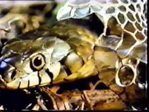 Вопрос: Для чего нужна змее линька Как происходит линька у змей?
