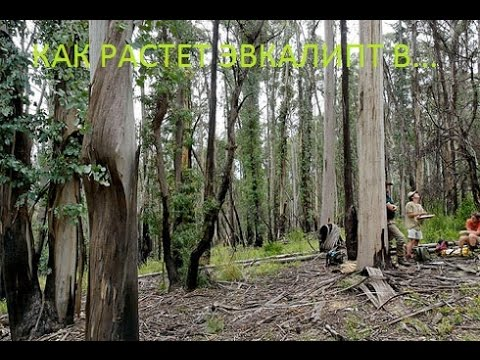 Как Растёт дерево ЭВКАЛИПТ в ЕВРОПЕ