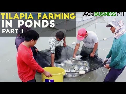 Tilapia Farming in Ponds Part 1 : Tilapia Farming in the Philippines | Agribusiness Philippines