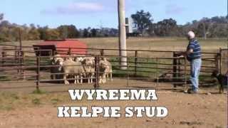 Wyreema Kelpie Stud Demonstration Video