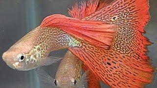 #Аквариум #для #начинающих #Гуппи #Рыбка #Часть #2(Аквариум #для #начинающих #Гуппи #Рыбка #Часть #2 Канал для любителей сверхестественного, непознанного,..., 2016-12-19T07:00:01.000Z)