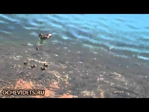 как нападает щука на утенка видео