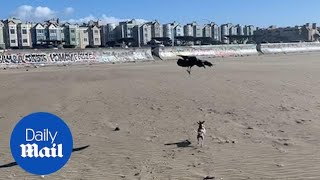 An unlikely duo: Chihuahua and a crow frolic together on the beach