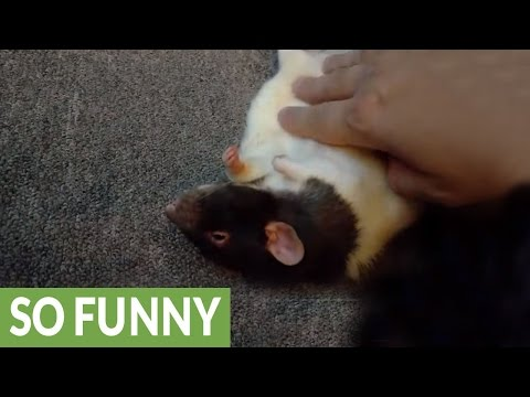 Pet rat absolutely loves belly rubs