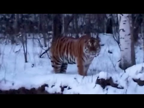 Villagers Came across Rare Wild Serbian Tiger in Northeast China