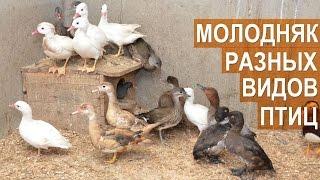 Молодняк птиц:  утки, нырки, фазаны, перепела, голуби. Птичий парк Сергея Абрамова