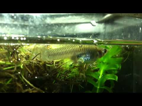 Mosquito Fish Giving Birth