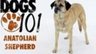 Dogs 101  Anatolian Shepherd