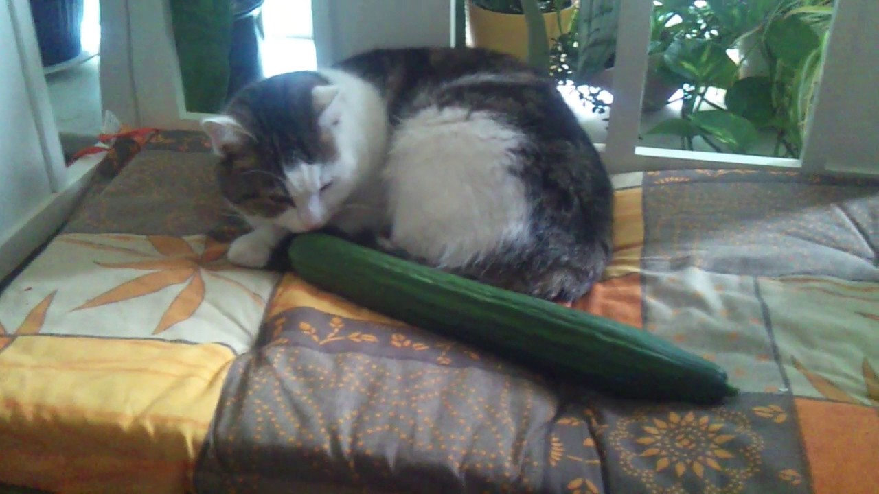 Katze Mit Gurke
