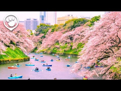 Cherry Blossoms in Japan: 2018 Forecast
