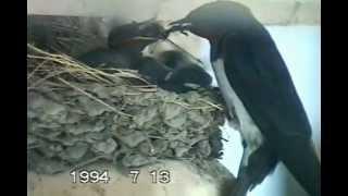 カメラの位置は巣の正面、我が家のはなれの庇へ設置しました。 HI8手...