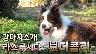 보더콜리, 세상에서 제일 똑똑한 강아지!?