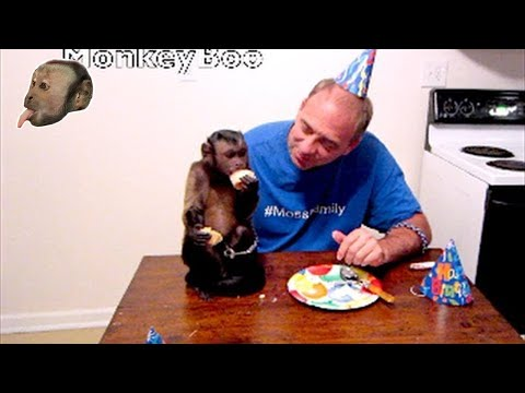 Capuchin MonkeyBoo Celebrates 7th Birthday