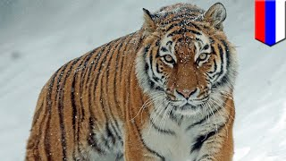 Wounded Siberian tiger seeks out humans to ask for help - TomoNews