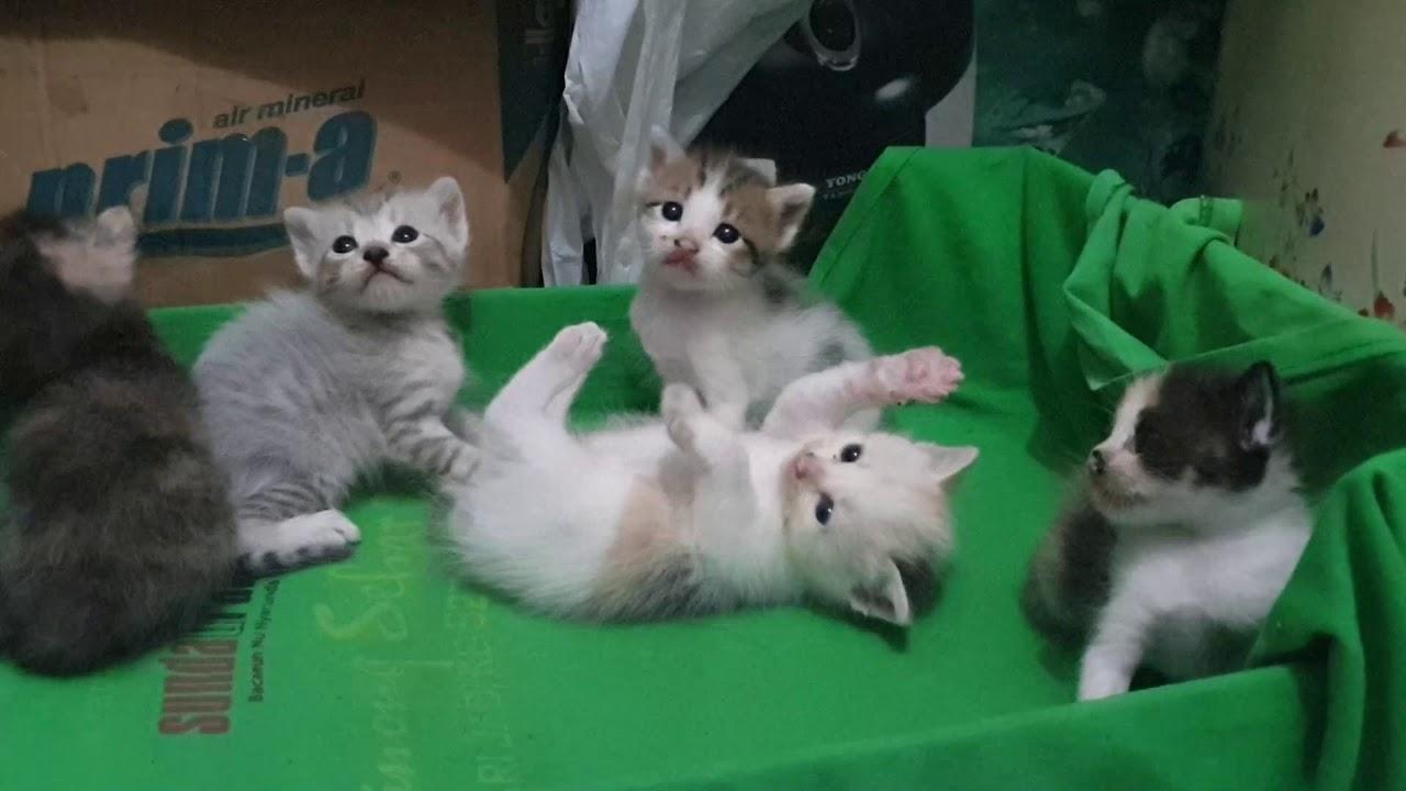 Part 34 Kucing Kampung Kawin Sama Kucing Persia Anaknya Jadi Kucing Youtube