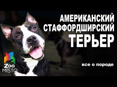 Американский Стаффордширский Терьер  - Все о породе собаки | Собака породы - Стаффордширский Терьер